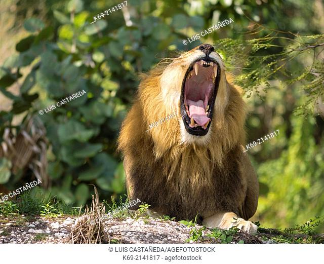 The lion (Panthera leo) is one of the four big cats in the genus Panthera and a member of the family Felidae. With some males exceeding 250 kg (550 lb) in...