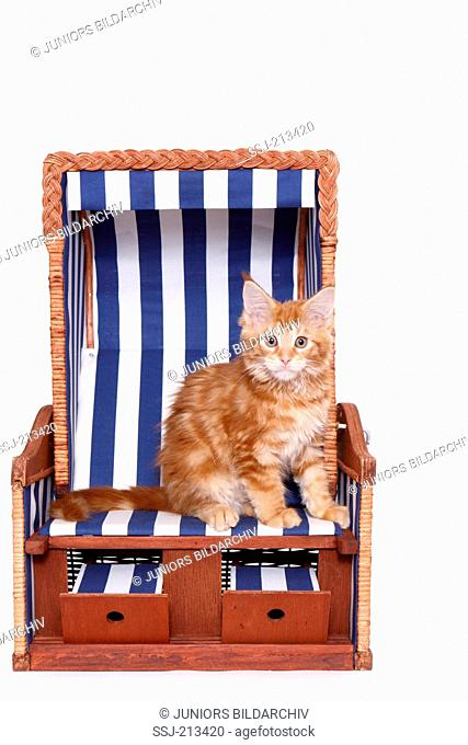 American Longhair, Maine Coon. Kitten sitting in a small beach chair. Studio picture against a white background. Germany