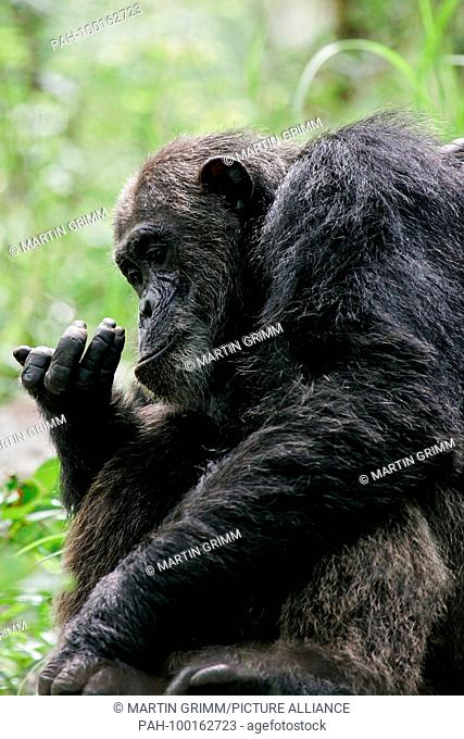 Eastern chimpanzee (Pan troglodytes schweinfurthii) curiously studying something in its hands, Gombe Stream National Park, Tanzania | usage worldwide