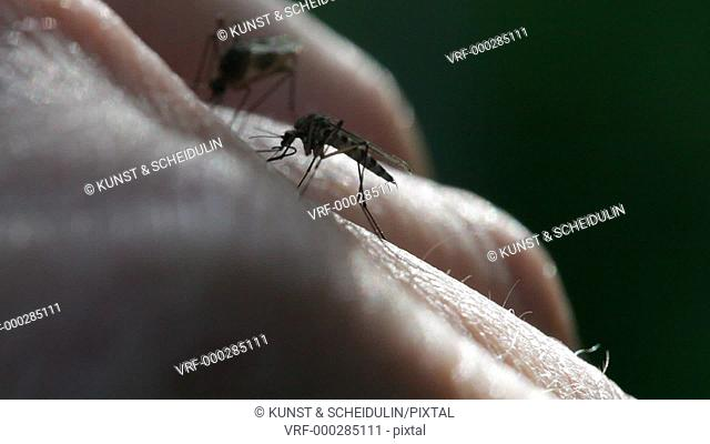 Two mosquitoes are sucking blood from a human hand. Noraström, Västernorrlands Län, Sweden