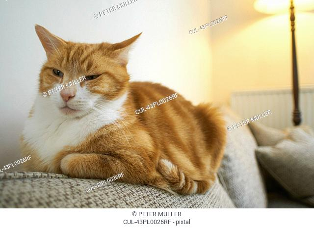 Close up of cat relaxing on couch