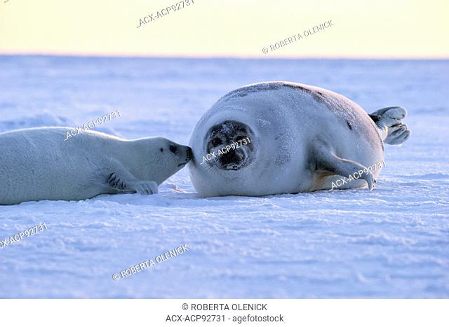 Harp seal (Pagophilus groenlandicus), female and whitecoat pup, on sea ice, Gulf of St. Lawrence, near Îles de la Madeleine (Magdalen Islands), Quebec, Canada