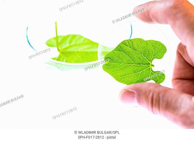 Plant leaf in a petri dish, close up