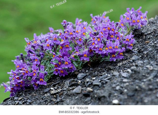 alpine toadflax (Linaria alpina), blooming, Switzerland