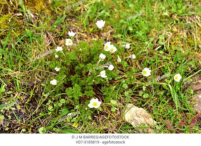Anemona cantabrica (Anemone pavoniana) is a perennial herb endemic to Cantabrian Mountains. This photo was taken in Somiedo Natural Park, Asturias, Spain