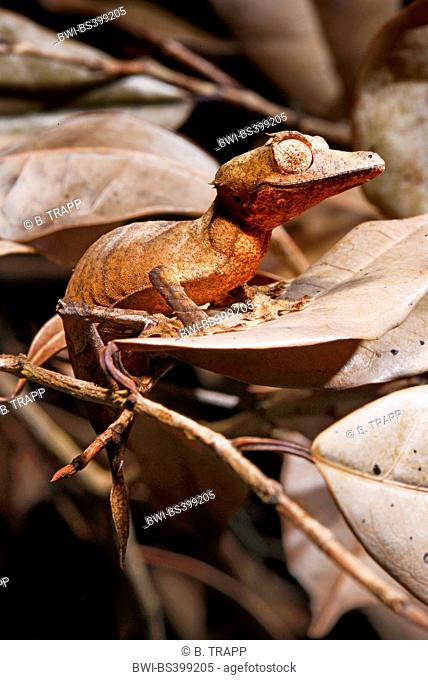 Spearpoint leaf-tail gecko (Uroplatus ebenaui), on a withered leaf, Madagascar, Nosy Be, Lokobe Reserva