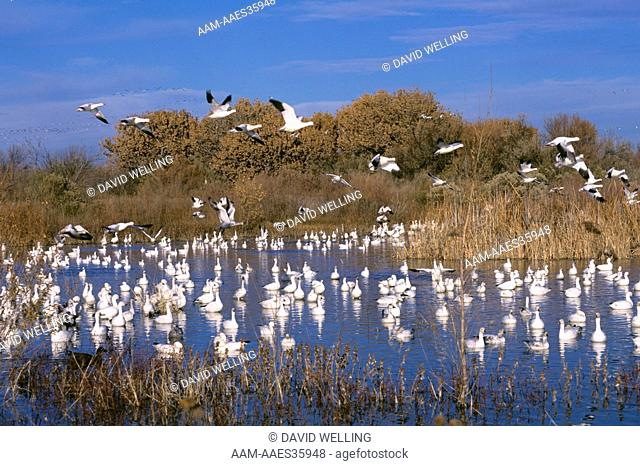 Snow Geese Flock on Pond (Chen caerulescens) Bosque del Apache NWR, NM Velvia 50