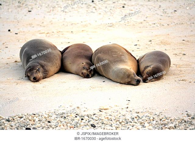 Galapagos sea lion (Zalophus californianus wollebaeki), group, adult, females, sleeping, lying down, resting on the beach, Galapagos Islands, Pacific Ocean