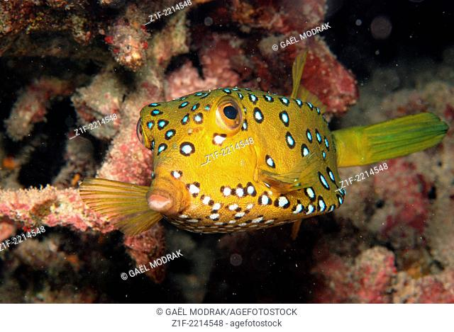 Yellow boxfish's close-up in a lagoon of Reunion island in France. Ostracion cubicus
