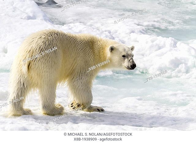Adult polar bear (Ursus maritimus) on the ice in Bear Sound, Spitsbergen Island, Svalbard, Norway