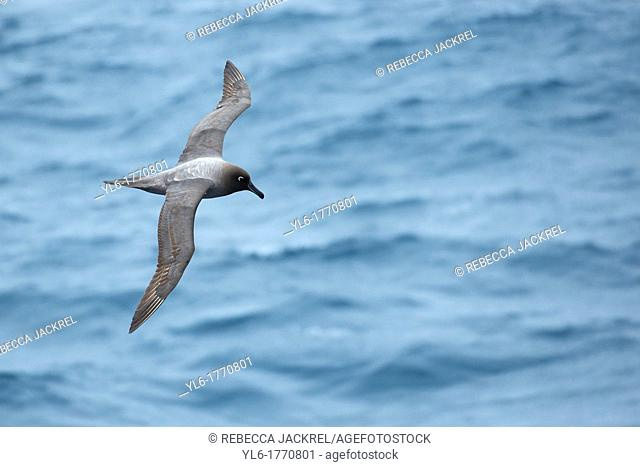 A Light-mantled Sooty Albatross Phoebetria palpebrata soars effortlessly across the Drake Passage on its way to Antarctica