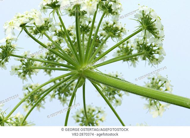 Queen Anne's lace (Daucus carota), Baskett Slough National Wildlife Refuge, Oregon