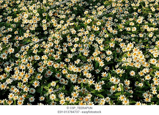 Mexican aster flowers