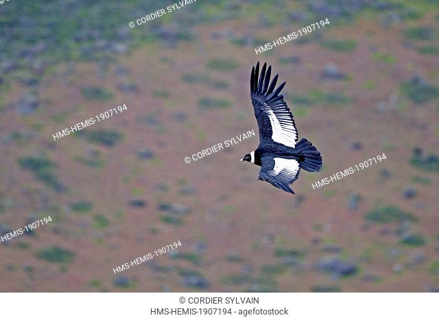 Chile, Patagonia, Magellan Region, Torres del Paine National Park, Andean Condor(Vultur gryphus), in flight