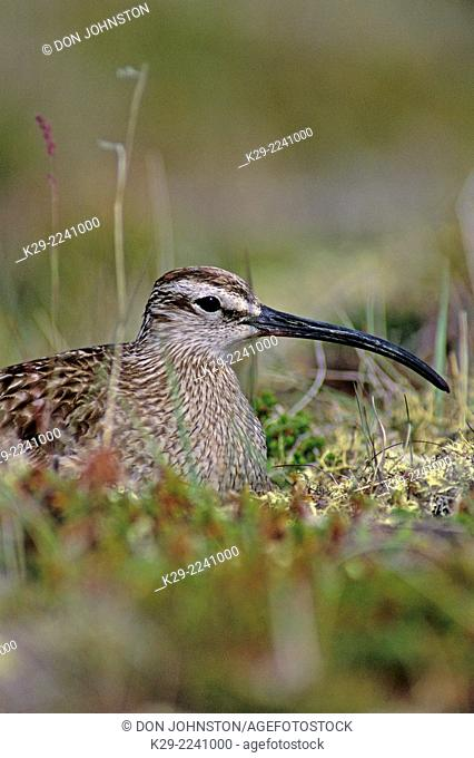 Whimbrel (Numenius phaeopus) Incubating in nesting habitat, Churchill, Manitoba, Canada