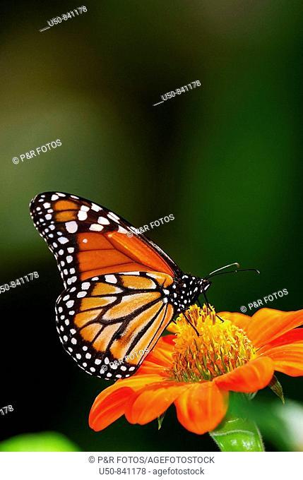 Monarch butterfly, Lepidoptera, Danaus plexippus, Nymphalidae, Danainae, visiting Mexican flower, Tithonia speciosa, Asteraceae,  Marechal Floriano