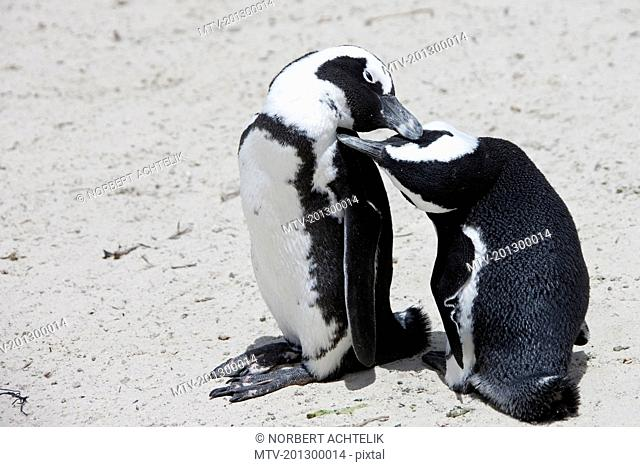 Pair of African Penguins (Spheniscus demersus) on beach, Boulders Beach, Cape Town, Western Cape Province, South Africa