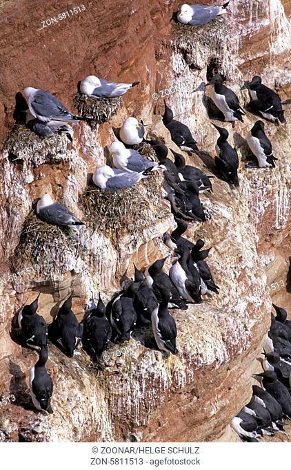 Dreizehenmoewen und Trottellummen am Vogelfelsen von Helgoland / Black-legged Kittiwakes and Common Guillemots at the bird rock from Heligoland - (Common Murre...