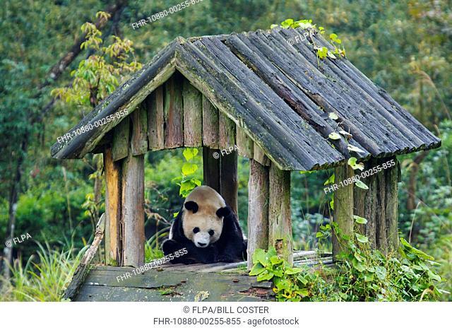 Giant Panda (Ailuropoda melanoleuca) adult, sitting under shelter, Bifengxia Panda Base, Ya'an, Sichuan Province, China, October