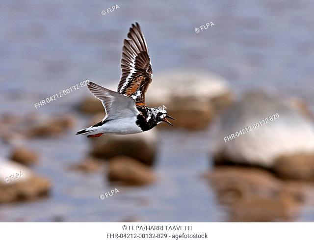 Ruddy Turnstone Arenaria interpres adult, summer plumage, calling, in flight over sea, Finland, june