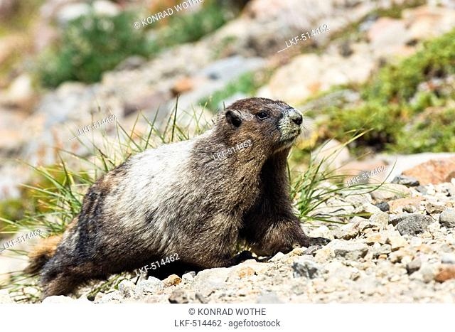 Hoary Marmot, Marmota caligata, Mount Rainier Nationalpark, Washington, USA
