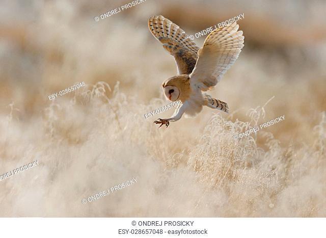 Hunting Barn Owl, Czech Republic