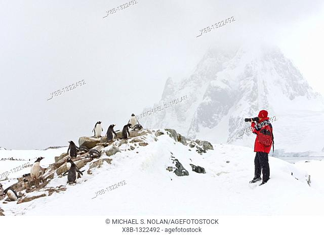 Adult gentoo penguins Pygoscelis papua nesting on Petermann Island, Antarctica There are an estimated 80, 000 breeding gentoo penguin pairs in the Antarctic...