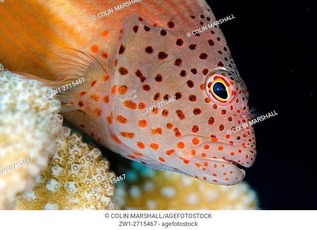 Freckled Hawkfish (Paracirrhites forsteri), Suanggi dive site, Forgotten Islands, Banda Neira, Banda Sea, Indonesia