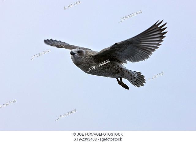 pale phase south polar skua catharacta maccormicki in flight Antarctica