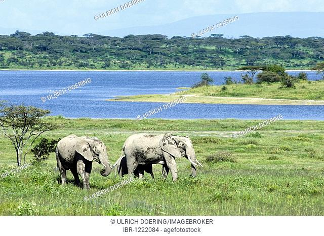 African Bush Elephants (Loxodonta africana) grazing at Lake Ndutu, Ngorongoro Conservation Area, Tanzania, Africa
