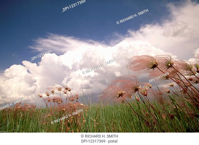 Summer storm clouds and prairie smoke blossoms on a Hubbard County prairie near Park Rapids; Minnesota, United States of America