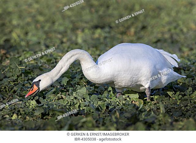 Mute Swan (Cygnus olor), plague, feeding in rape field, Mecklenburg-Western Pomerania, Germany