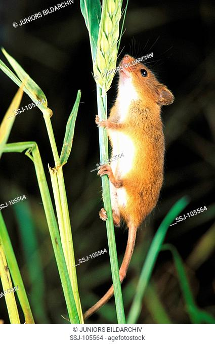 pygmy tree mouse climbing at blade / Haeromys spp