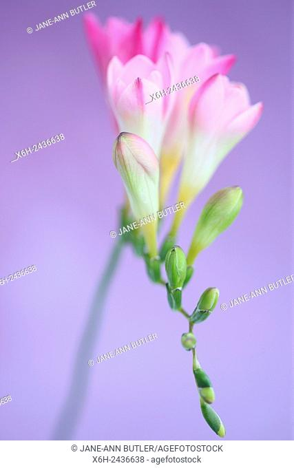 gentle pink freesia stem as sweet as its fragrance