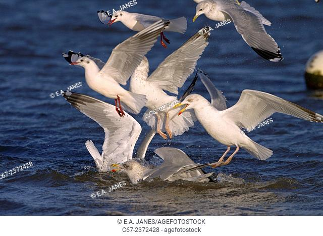 Herring Gull Larus argentatus Black headed and Common Gulls feeding