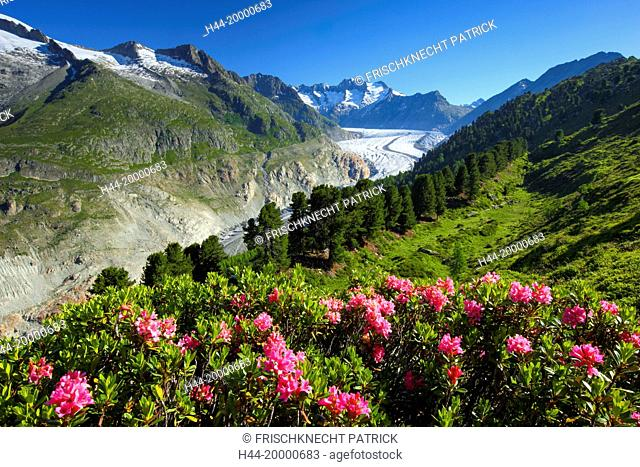 Wannenhörner and Aletsch glacier with Alpine roses, Valais, Switzerland