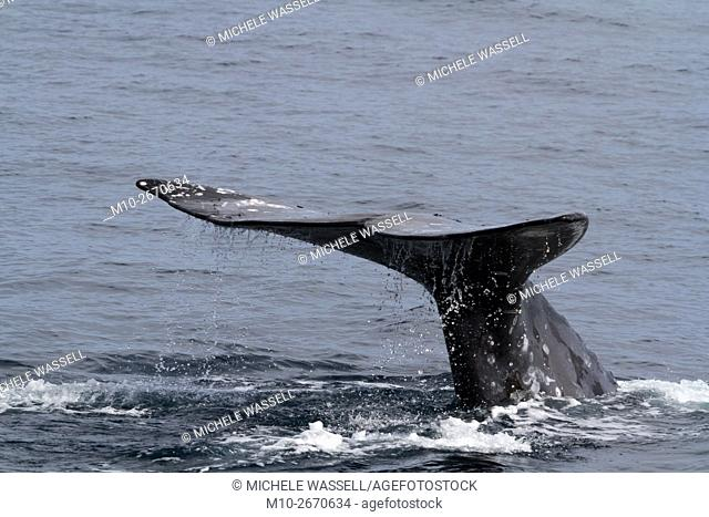 Close-up of Gray Whale tail fluke