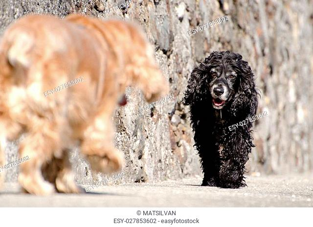 Two cocker spaniel dogs walking