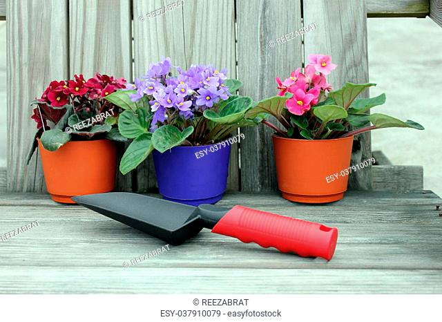Terra cotta pots with bright african violets and gardening spade on old weathered adirondack chair