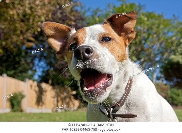 Domestic Dog, Parson Russell Terrier, adult, close-up of head, barking in garden, England, August