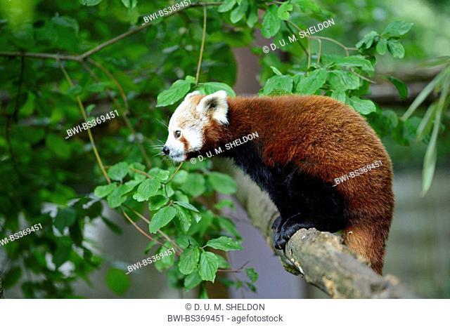 lesser panda, red panda (Ailurus fulgens), standing on a branch