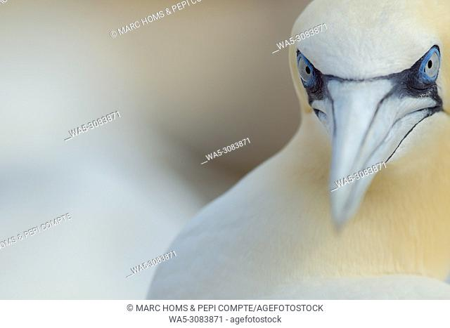 Northern Gannet portrait close-up in Saltee Island, Ireland