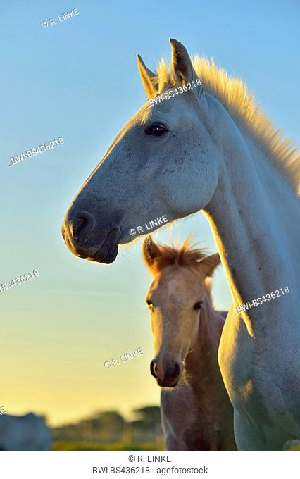 Camargue horse (Equus przewalskii f. caballus), mare with foal, portrait at morning light, France, Camargue, Provence, Languedoc Roussillon
