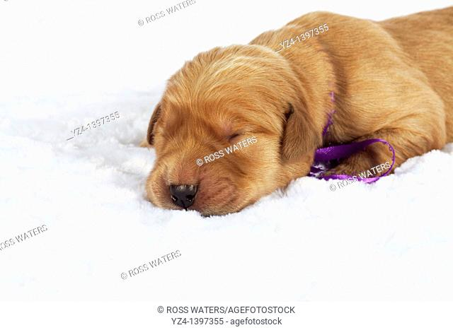 A one-week-old Golden Retriever puppy indoors