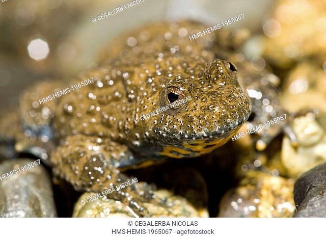 Bulgaria, Stara Zagora region, Stara Planina, Central Balkan National Park, Yellow-bellied Toad (Bombina variegata)