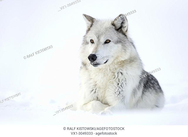 Gray Wolf ( Canis lupus) in winter, lying, resting in snow, watching attentively, Yellowstone area, Montana, USA