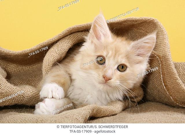 lying Maine Coon Kitten