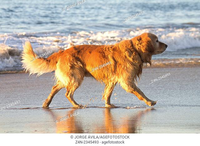 Golden retriever, Pacific Ocean, Mexico
