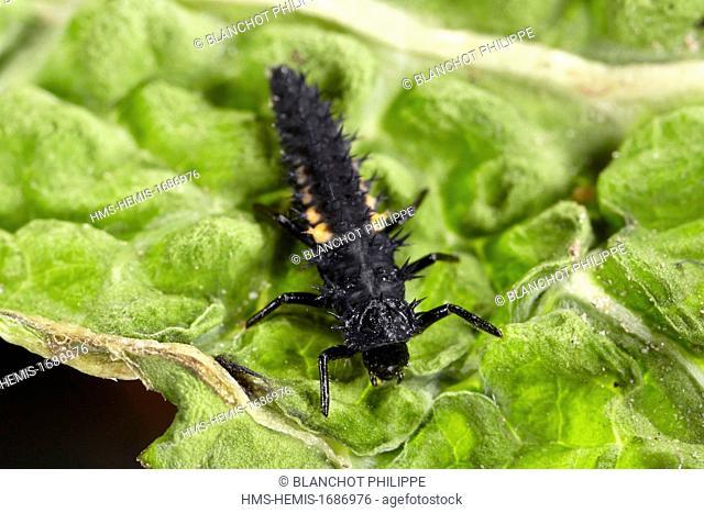 France, Coleoptera, Coccinellidae, Harlequin ladybird, Multicolored Asian lady beetle or Halloween lady beetle (Harmonia axyridis), third larval instar