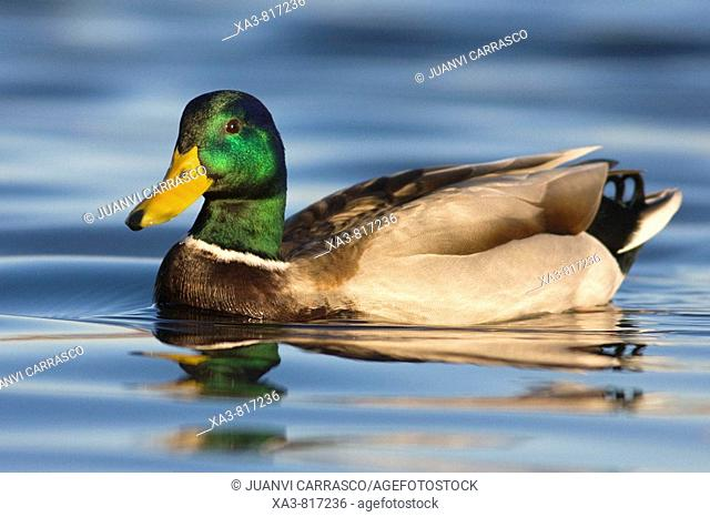 Male mallard , Anas platyrhynchos , swimming on lagoon